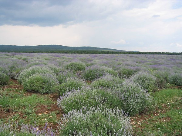 fields of lavender between Plovdiv and Shoumen.jpg