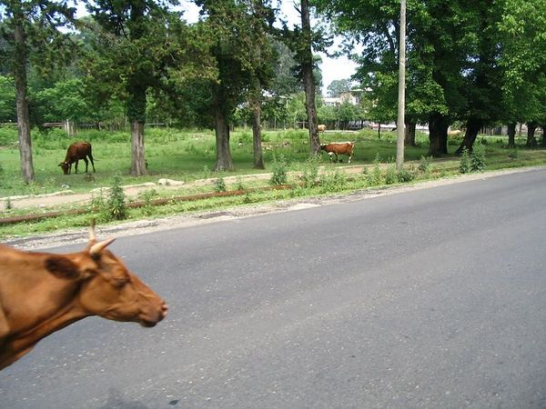 cow in road.jpg