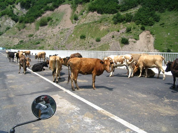 cow bridge.jpg