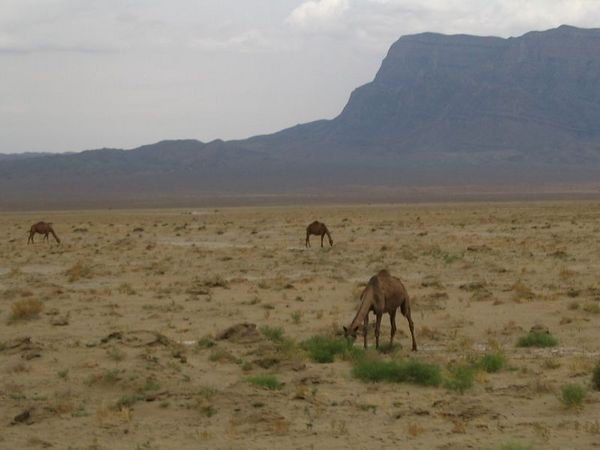 desert camels.jpg
